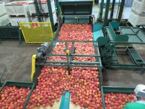 Peach Processing