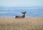 Big Horn Sheep, Badlands