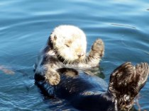 I had to throw in a photo of a  Sea Otter, They are so cute.