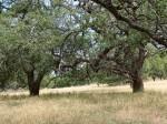 Engleman Oaks