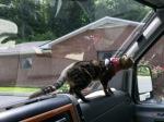 Elsie directing traffic