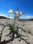 Desert Liliy