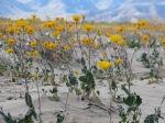 Desert Sun Flowers