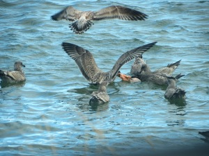 Birds fighting over fish